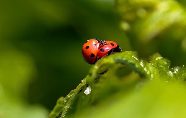 Картинка макро, насекомые, две, листок, божья коровка, жук, пара, жуки, парочка, два, зеленый фон, божьи коровки, …