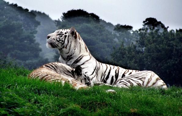 Картинка кошка, животные, Тигр, белый тигр