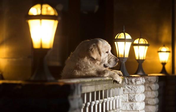 Картинка собака, фонари, пёс, Андрей Ершов