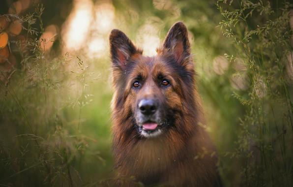 Картинка язык, трава, взгляд, морда, свет, природа, зеленый, фон, стебли, портрет, собака, колоски, пес, немецкая овчарка, …
