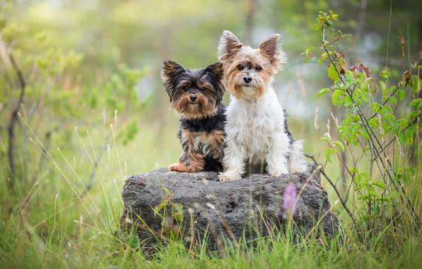 Картинка зелень, собаки, лето, трава, взгляд, природа, поза, камень, две, портрет, собака, пара, парочка, друзья, сидят, …