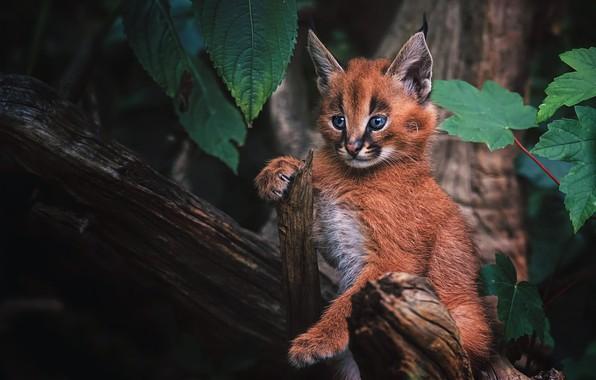 Картинка лес, кошка, взгляд, фон, малыш, котёнок, рысь, мордашка, детеныш, дикая кошка, каракал, рысенок, рысёнок