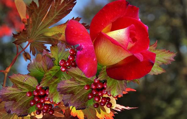 Картинка осень, Роза, калина