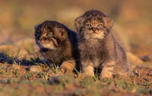 Картинка кошки, природа, котята, малыши, дикие кошки, парочка, два, манул, сидят, детеныши, два котенка, мордашки