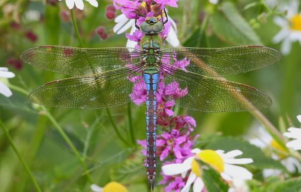 Картинка макро, цветы, ромашки, стрекоза, насекомое, крылышки