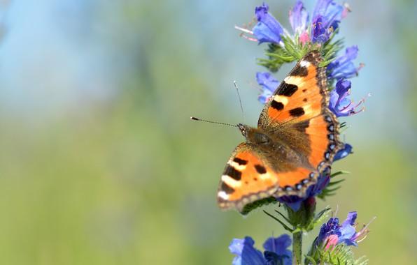 Картинка лето, макро, цветы, зеленый, фон, бабочка, голубые, насекомое, рыжая, синие, крапивница