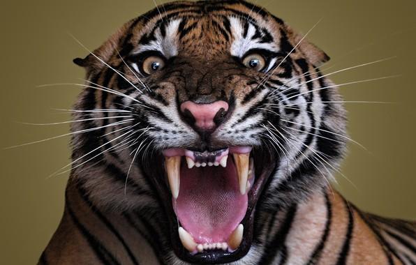 Картинка Взгляд, Тигр, Усы, Глаза, Злой, Клыки, Морда, Хищник, Крупный план, Оскал