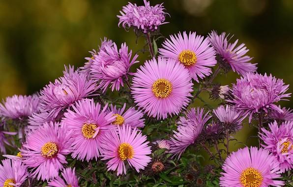 Картинка осень, цветы, природа, хризнтемы