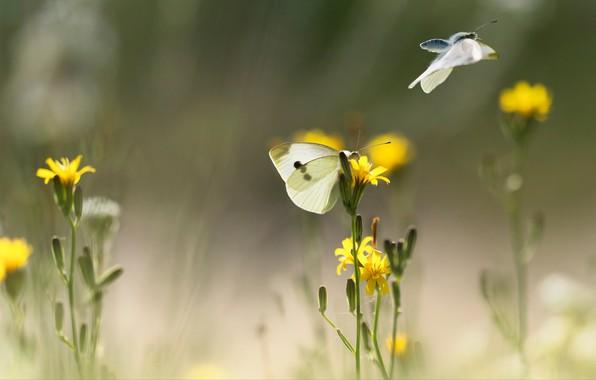 Картинка лето, макро, свет, полет, бабочки, цветы, насекомые, настроение, две, размытие, желтые, белые, парочка, боке, на …