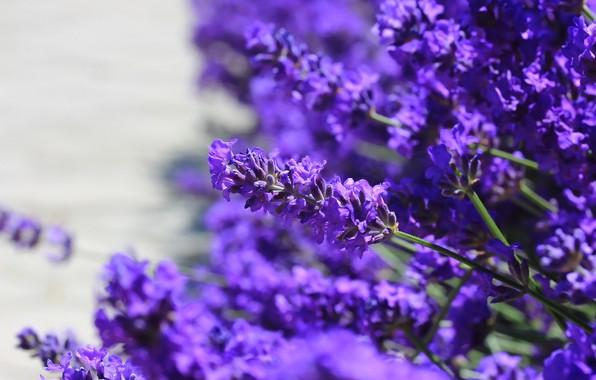 Картинка цветы, фон, лаванда