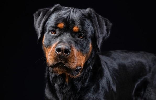 Картинка взгляд, морда, собака, Ротвейлер, чёрный фон