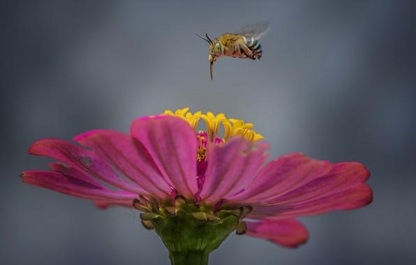 Картинка цветок, пчела, flower, bee, Hendy Mp