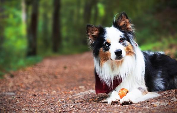 Картинка лес, взгляд, морда, игрушка, игра, портрет, собака, щенок, лежит, платок, бордер-колли, разноглазая