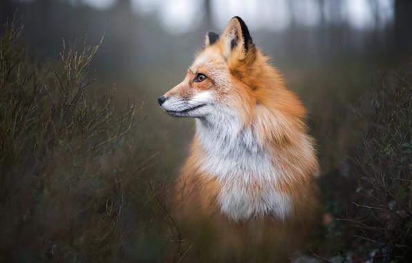Картинка лес, взгляд, ветки, природа, поза, фон, заросли, темный, лиса, профиль, рыжая, кусты, лисица, боке