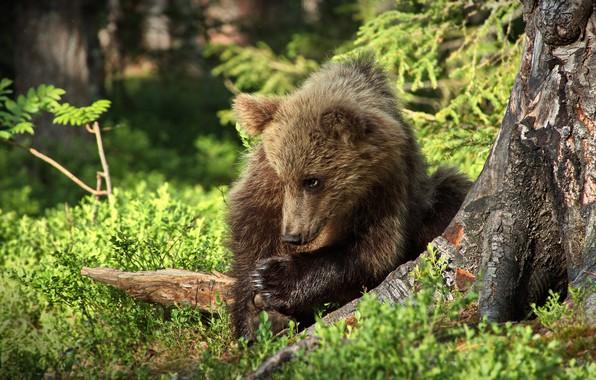 Картинка лес, взгляд, морда, природа, поза, малыш, медведь, медвежонок, сидит, бурый