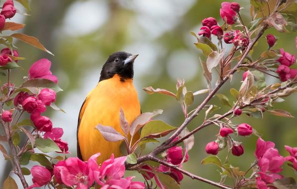 Картинка ветки, птица, яблоня, цветение, цветки, Балтиморский цветной трупиал, Балтиморская иволга