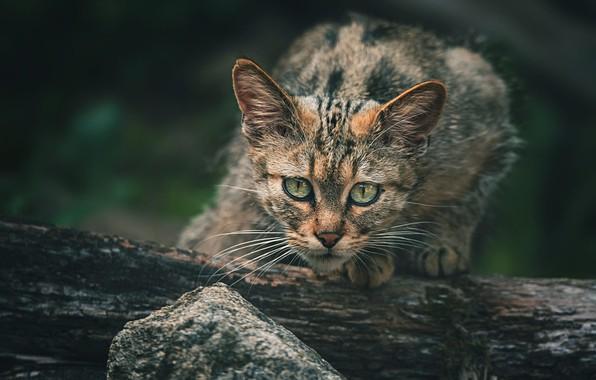 Картинка кошка, взгляд, морда, природа, поза, темный фон, котенок, серый, дерево, малыш, бревно, котёнок, полосатый, дикий, …