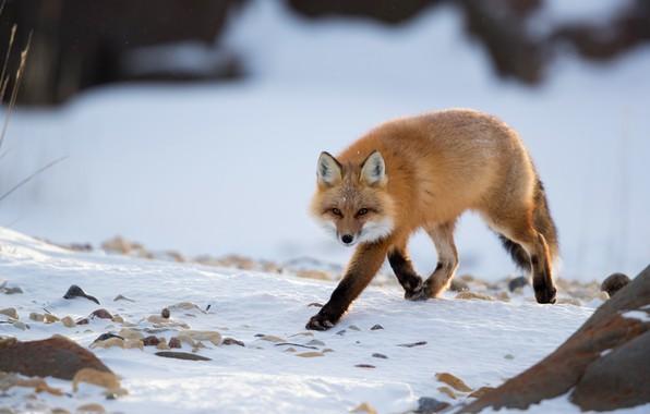 Картинка зима, взгляд, снег, лиса, рыжая, прогулка, лисица