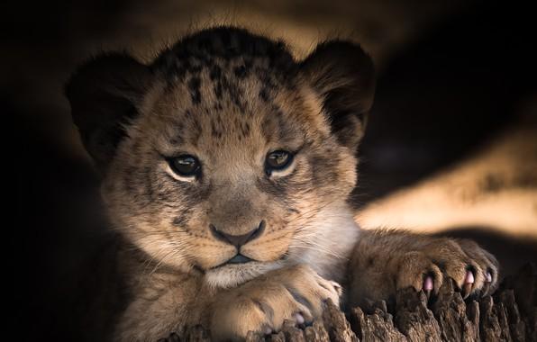 Картинка глаза, взгляд, малыш, милый, львенок