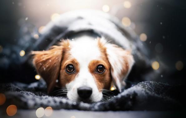 Картинка зима, взгляд, морда, снег, портрет, собака, плед, боке