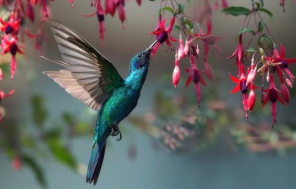 Картинка природа, птица, колибри