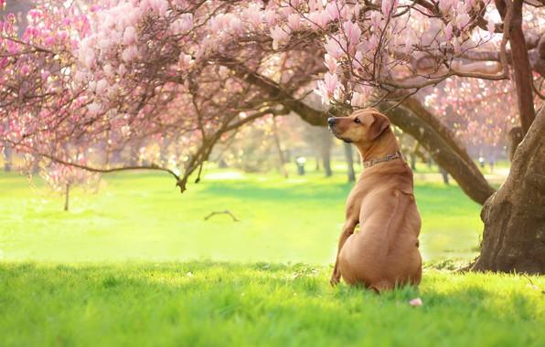 Картинка зелень, трава, свет, деревья, цветы, ветки, парк, настроение, газон, поляна, спина, собака, весна, сад, рыжий, …