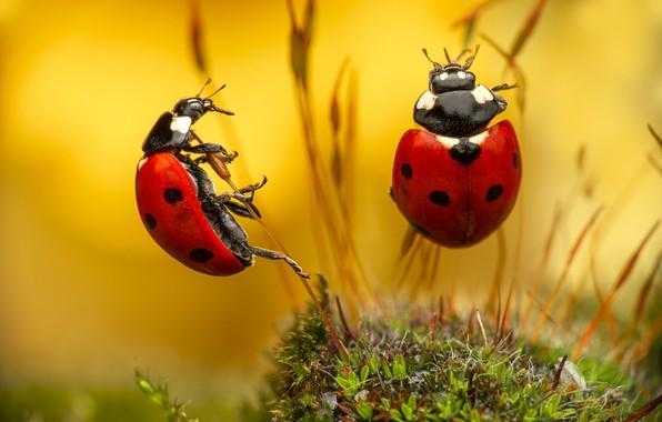 Картинка макро, насекомые, жуки, парочка, травинки, Божьи коровки