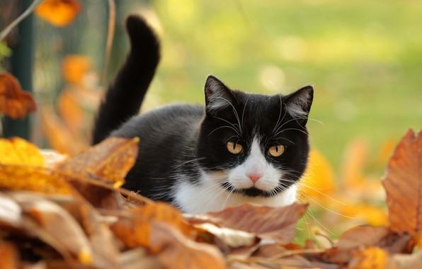 Картинка осень, кошка, кот, взгляд, листья, фон, черно-белый, листва, хвост, желтые глаза