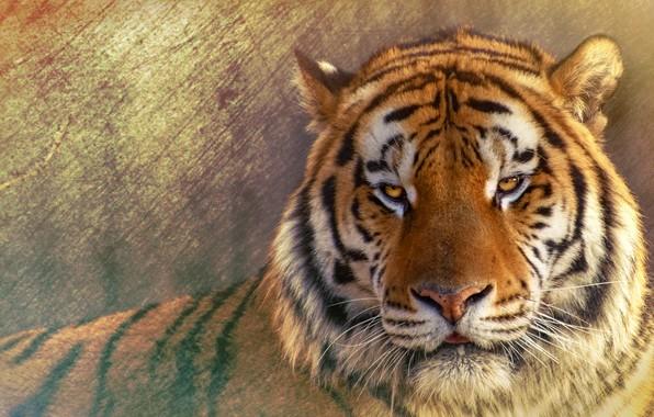 Картинка взгляд, морда, тигр, фон, портрет, обработка, дикая кошка