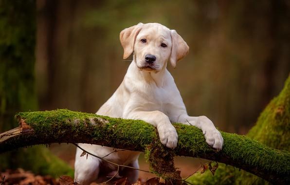 Картинка лес, белый, взгляд, природа, поза, фон, мох, собака, лапы, малыш, милый, щенок, коряга, лабрадор, стойка, …