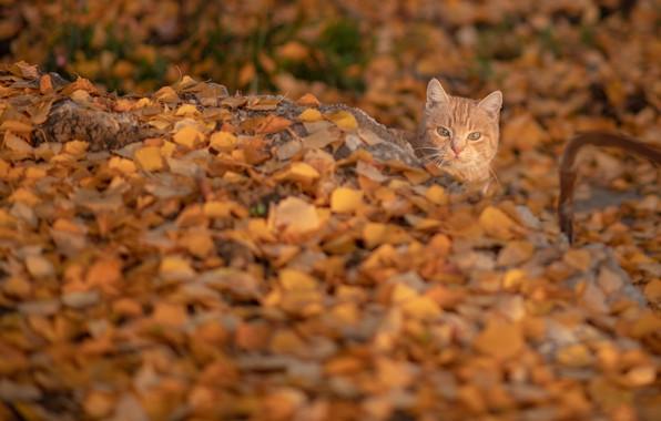 Картинка осень, кошка, кот, рыжий, мордочка, опавшие листья, котейка, жёлтые листья, Константин Владов
