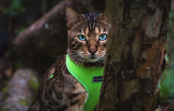 Картинка кошка, кот, взгляд, природа, темный фон, дерево, портрет, костюм, кора, голубые глаза