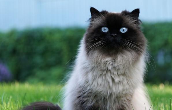 Картинка кошка, кот, взгляд, природа, зеленый, фон, голубой, портрет, мордочка, голубоглазая, пушистая, сиамская, большие глаза, анфас, …