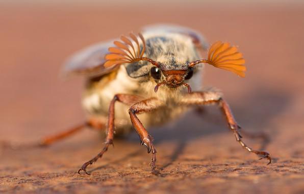 Картинка макро, фон, жук, насекомое, майский жук, майский