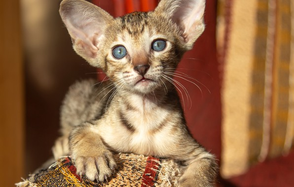 Картинка взгляд, лапки, мордочка, уши, котёнок, Ориентальная кошка, Ориентал, Татьяна Феденкова