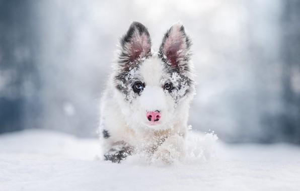 Картинка зима, иней, взгляд, морда, снег, природа, портрет, собака, нос, бег, сугробы, щенок, прогулка, светлый фон, …