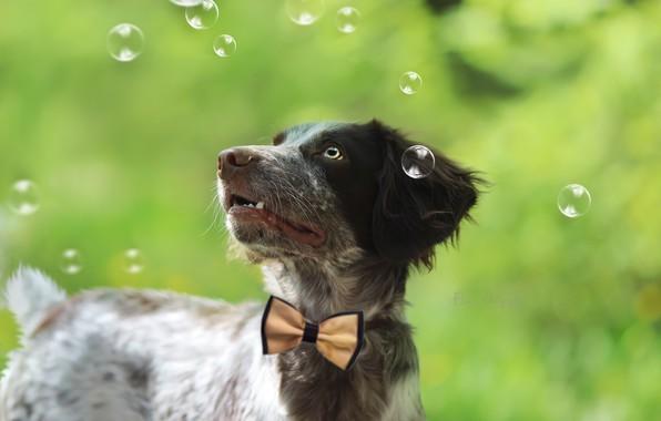 Картинка взгляд, пузыри, фон, друг, щенок, бантик
