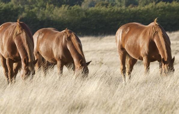 Картинка field, horses, pasture