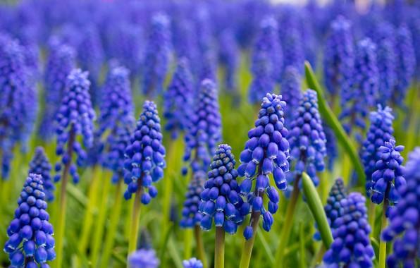 Картинка цветы, природа, Grape Hyacinth