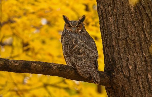 Картинка осень, взгляд, желтый, природа, фон, дерево, сова, птица, листва, ветка, кора, красавец, филин