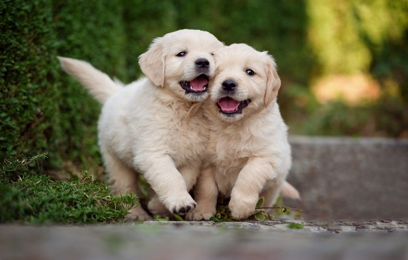 Картинка зелень, собаки, листья, радость, парк, игра, сад, щенки, пара, прогулка, белые, парочка, лабрадор, дуэт, друзья, …