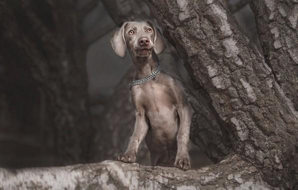 Картинка взгляд, морда, природа, поза, темный фон, серый, дерево, собака, ветка, лапы, цепь, щенок, ствол, серая, …