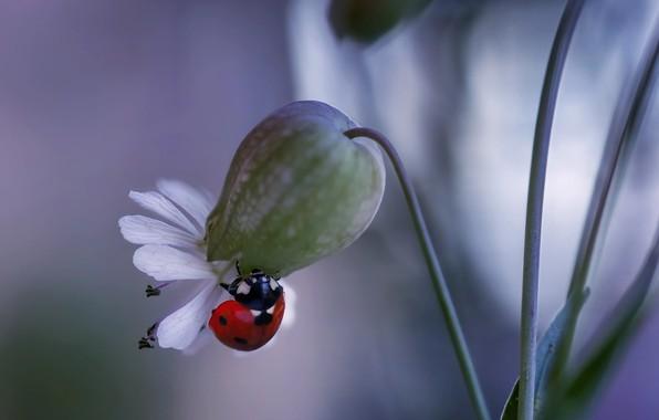 Картинка цветок, макро, природа, божья коровка, жук, Rina Barbieri