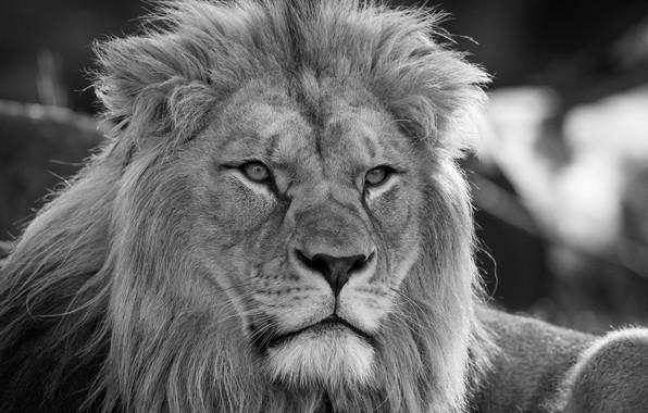 Картинка взгляд, морда, портрет, лев, чёрно-белая, грива, царь зверей, дикая кошка, монохром