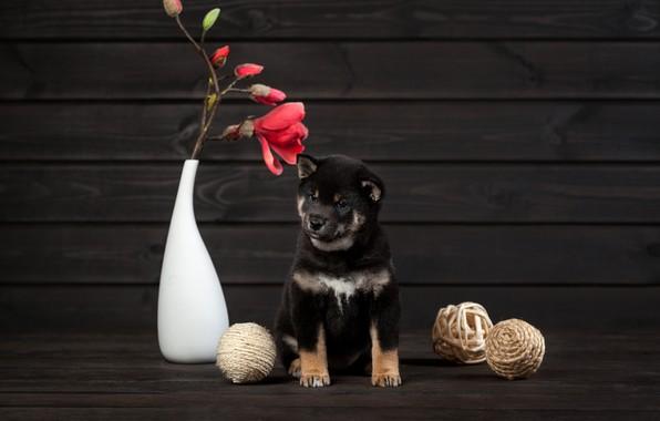 Картинка цветок, собака, щенок, ваза, мячики, Сиба-ину, Ольга Смирнова
