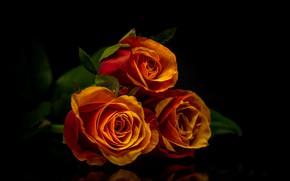 Картинка фон, черный, розы, букет, лепестки, бутоны