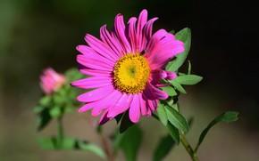 Картинка природа, астра, летнее настроение, цветы полевые