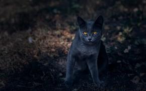 Картинка кошка, кот, взгляд, природа, поза, темный фон, серый, мордочка, британский, боке, желтые глаза