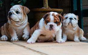 Картинка собаки, плитка, собака, малыш, щенки, двор, щенок, бульдог, мордашка, сидит, трио, фигурки, керамика, бульдоги