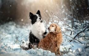 Картинка зима, животные, собаки, снег, природа, пара, спаниель, бордер-колли